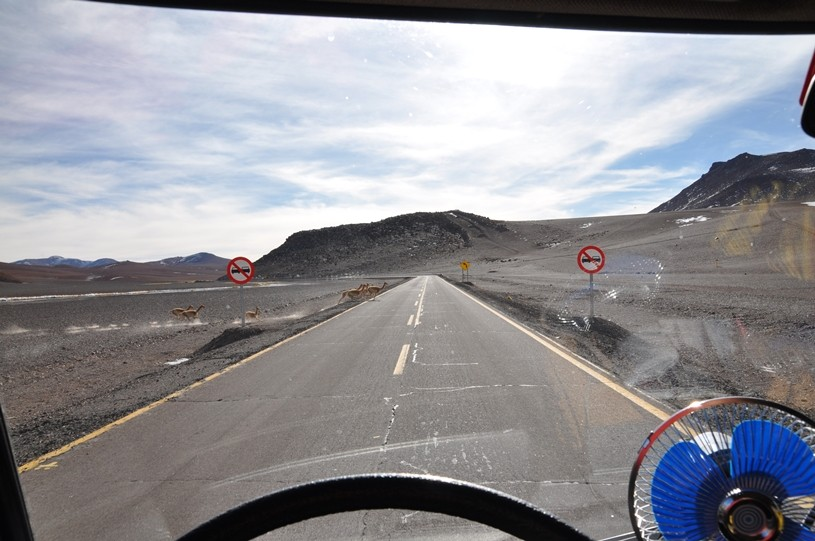 Vicuñas haben die schlechte Angewohnheit, die Strasse immer noch kurzfristig zu überqueren...