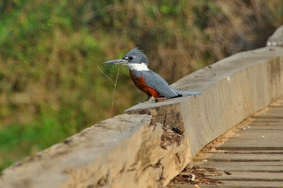 Ein Eisvogel wartet auf der Brücke