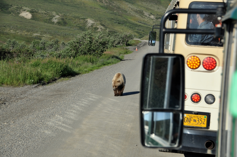 Ganz nah kommt der Grizzly dem Bus