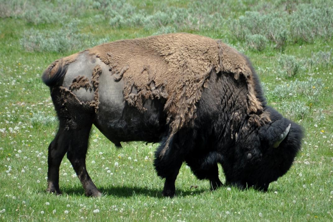 Bisons ganz nah