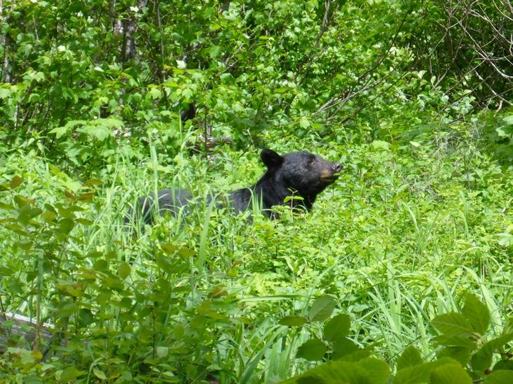 Ganz nahe kamen wir diesem Schwarzbären!