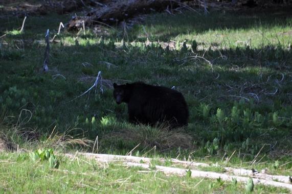 Der erste Schwarzbär im Sequoia Park