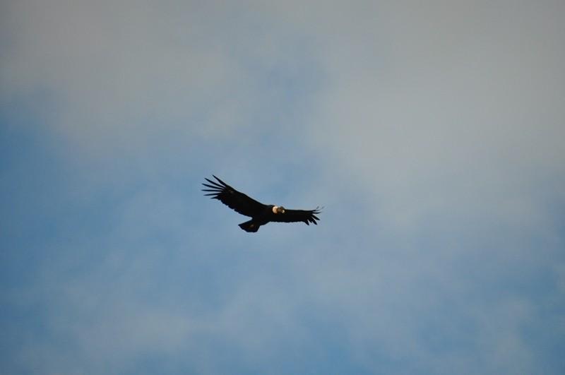 Der König der Lüfte - Andenkondor