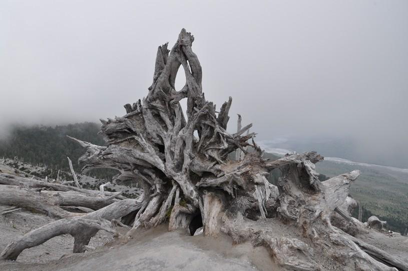 Entwurzelte Bäume vom Vulkanausbruch