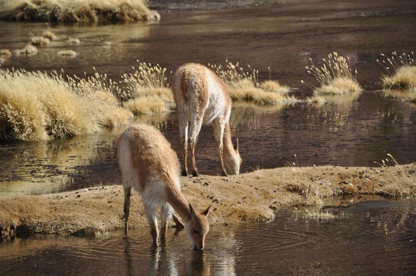 Vicuñas gibt es auf dem chilenischen Altiplano überall! Sie vertragen die extreme Höhe besser als wir ;-)