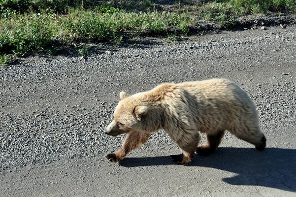 Ein schöner Grizzly