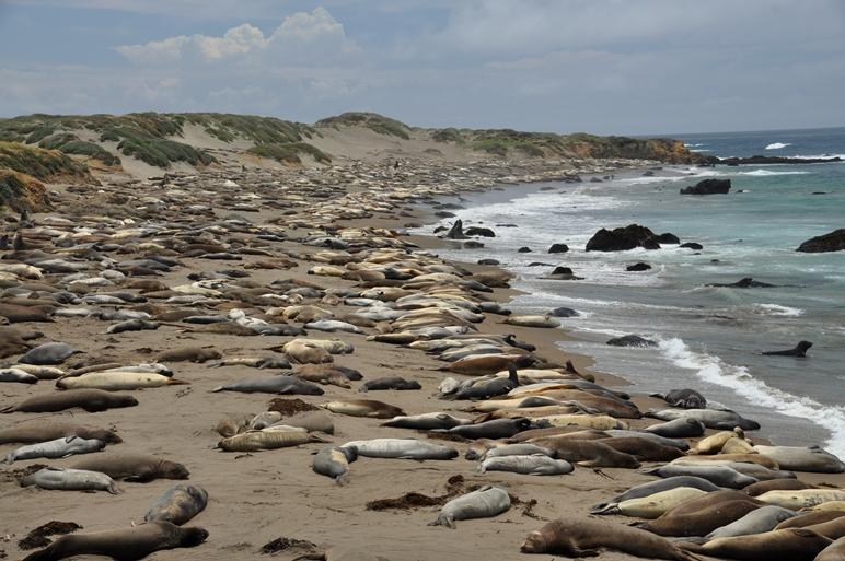 Seeelefanten an der Küste vor San Francisco