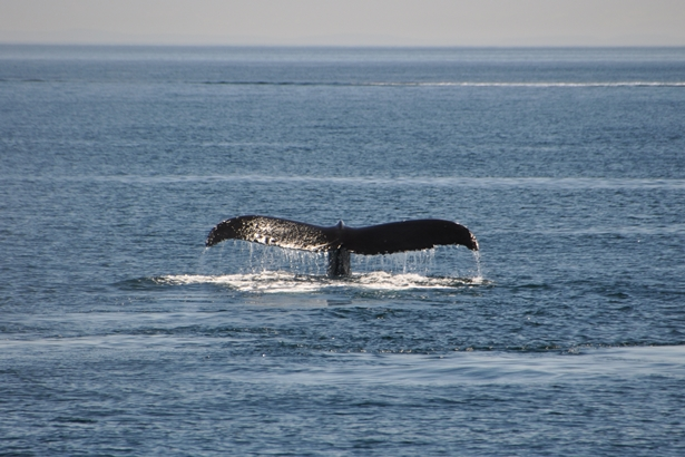 Die riesige Schwanzflosse eines Buckelwals