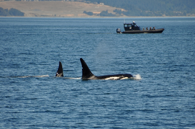 Die ersten Orcas, die wir sehen