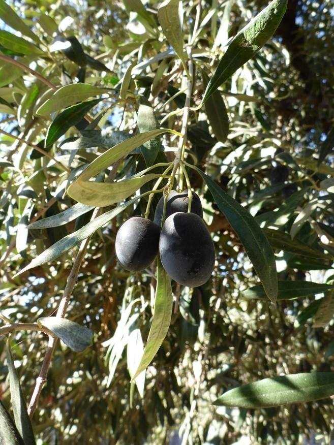 Oliven für Olivenöl