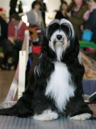 Max_Michael Vogt_Rhonda Bailey_Tibet Terrier_Oelde_Peter Künzel