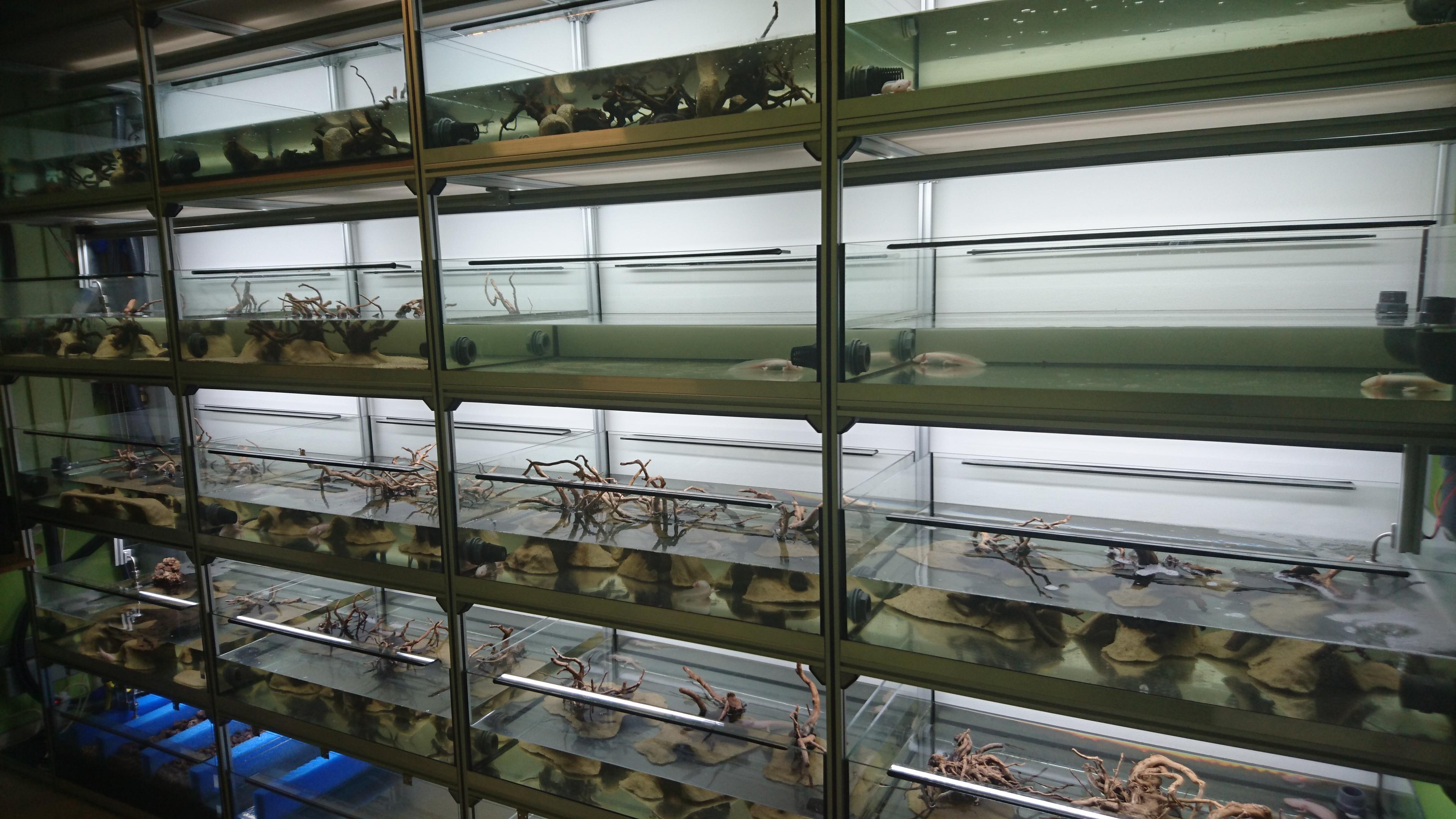 Shop mbk aquaristik garnelen axolotl for Aquaristik shop