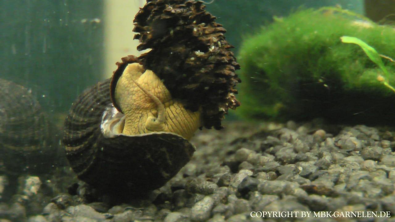 Bilder Tylomelania Schnecken (Sulawesi Schnecken) - MBK - Aquaristik ...