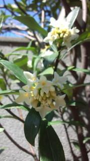 ☆庭先に咲く白い沈丁花の花☆