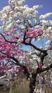 弊社の近くの満開のしだれ桜☆