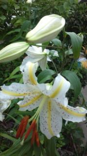 ☆弊社裏庭のゆりの花☆