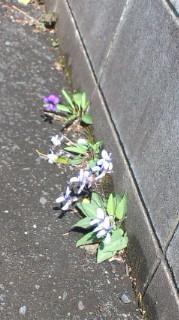 先日のスミレの花の奥に濃い色のスミレ