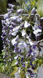 弊社の庭先の「藤の花」❤❤