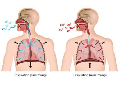 Das Bild beschreibt die Atmung
