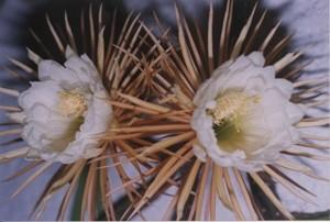 Die unglaublich schöne Blüte der Königin der Nacht ...