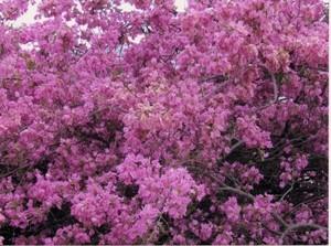 Das ist die schönste Bouganvilla-Blütenpracht, die wir kennen