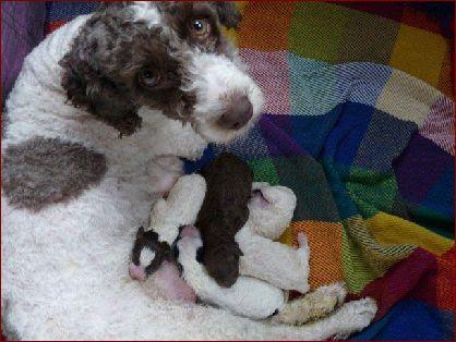 79d5da645262fe Sie wollen einen Hundewelpen kaufen? - Der Verein für Spanische ...