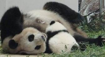 じゃれ合うパンダの母子