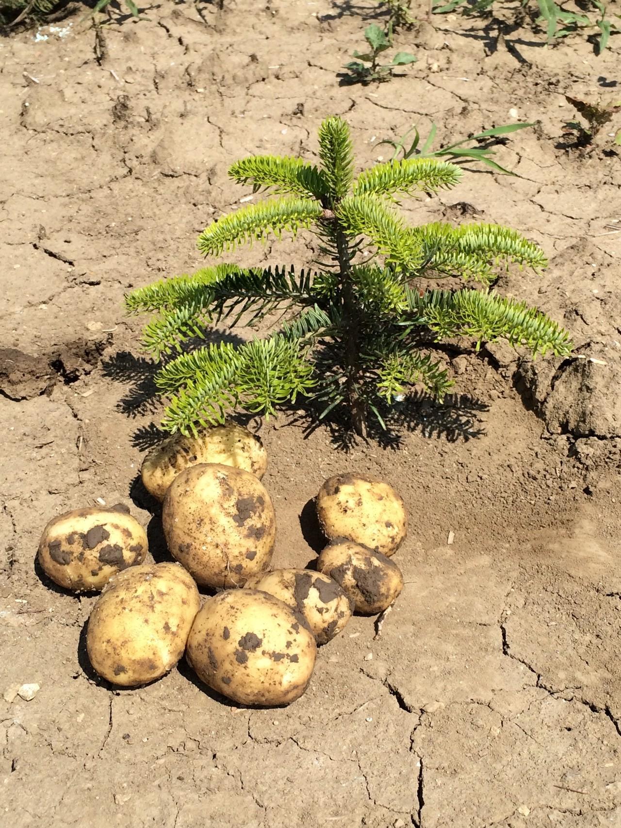 Unsere Kartoffeln neben einem frisch gesetzten Christbaum