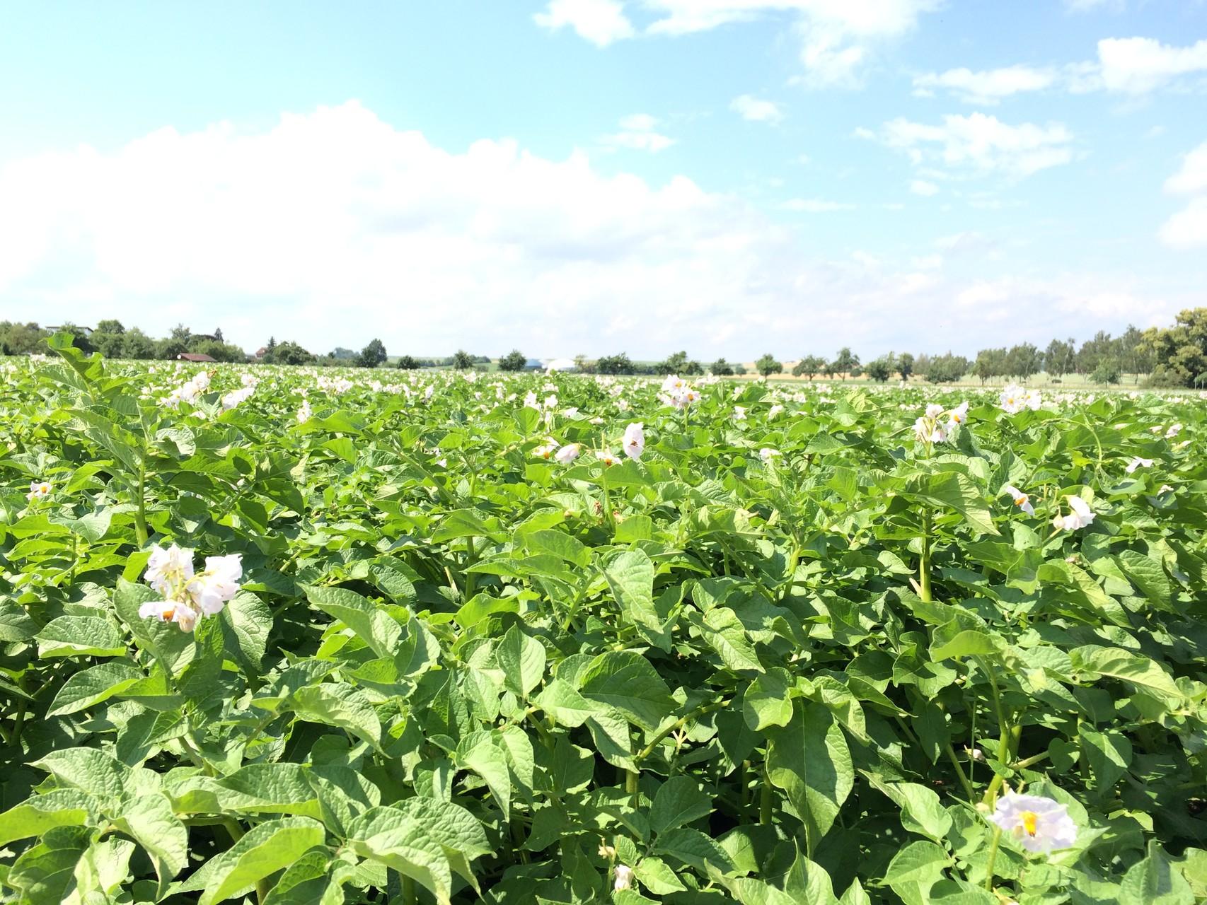 Kartoffelpflanzen in der Blüte 2015