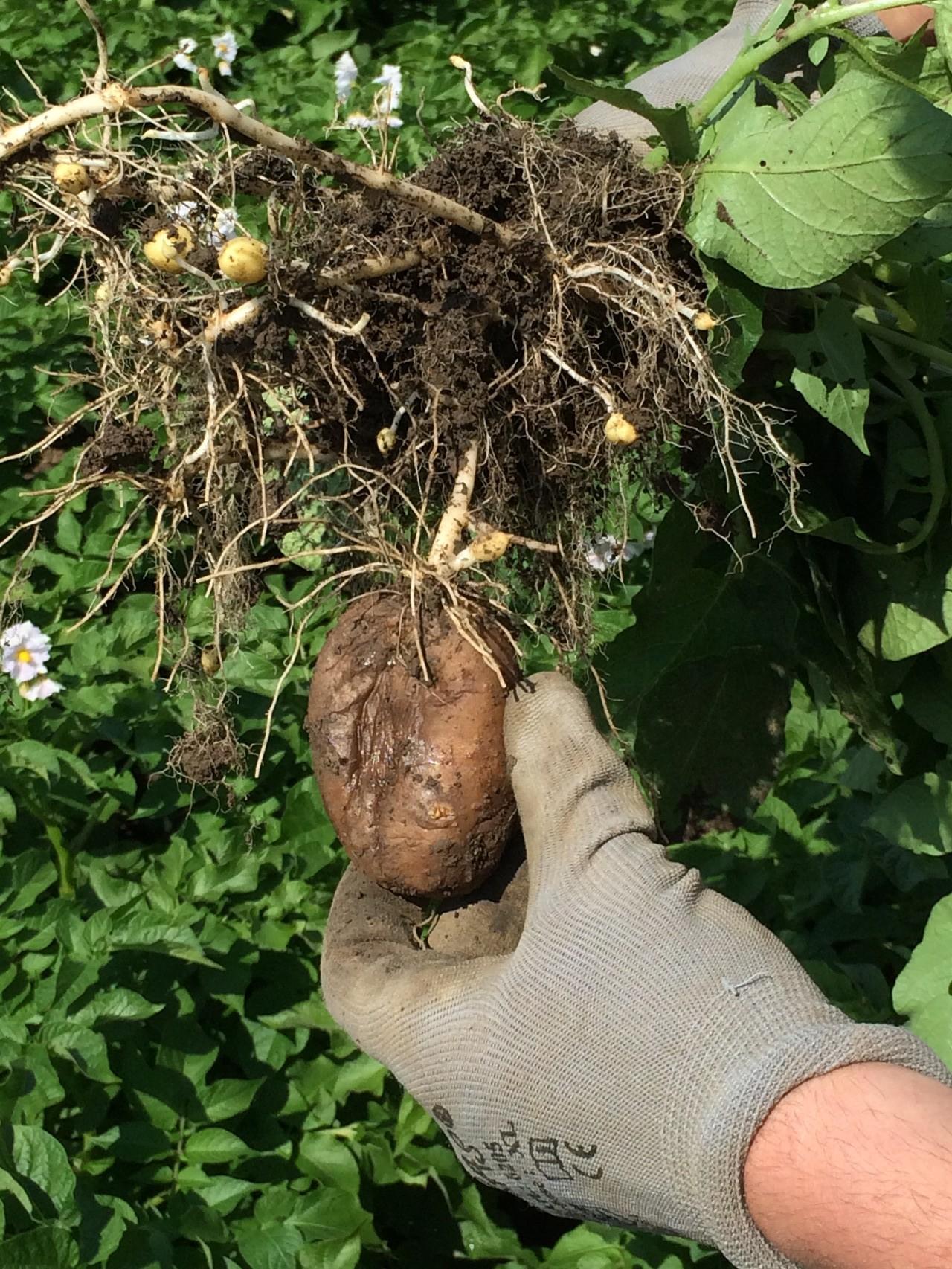 Die Kartoffelpflanze mit verbliebener Mutterknolle 2015