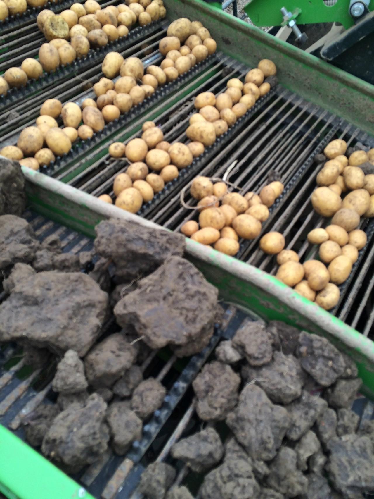 Auf dem Roder werden die Kartoffeln durch unser Team sortiert