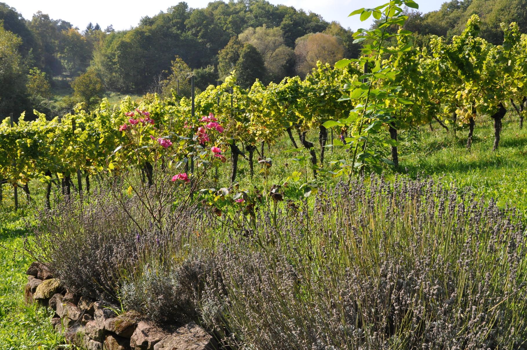 vorne die Weinberge - dahinter der Wald