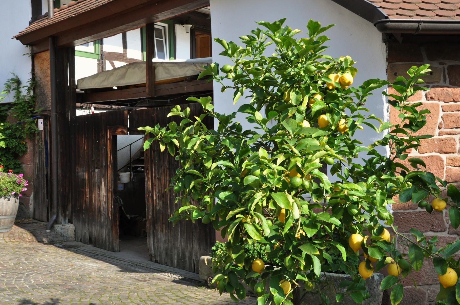 hier gibts auch Zitronen !!!!!!!!