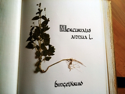 Bingelkruid  herbarium  www.hetmaagdenkabinet.nl