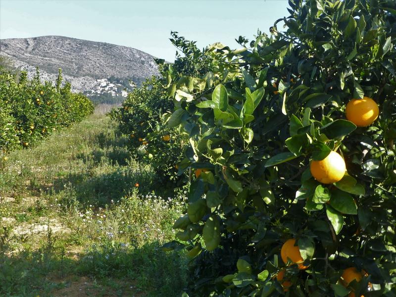 Auch die Orangen bieten sich zum pflücken an