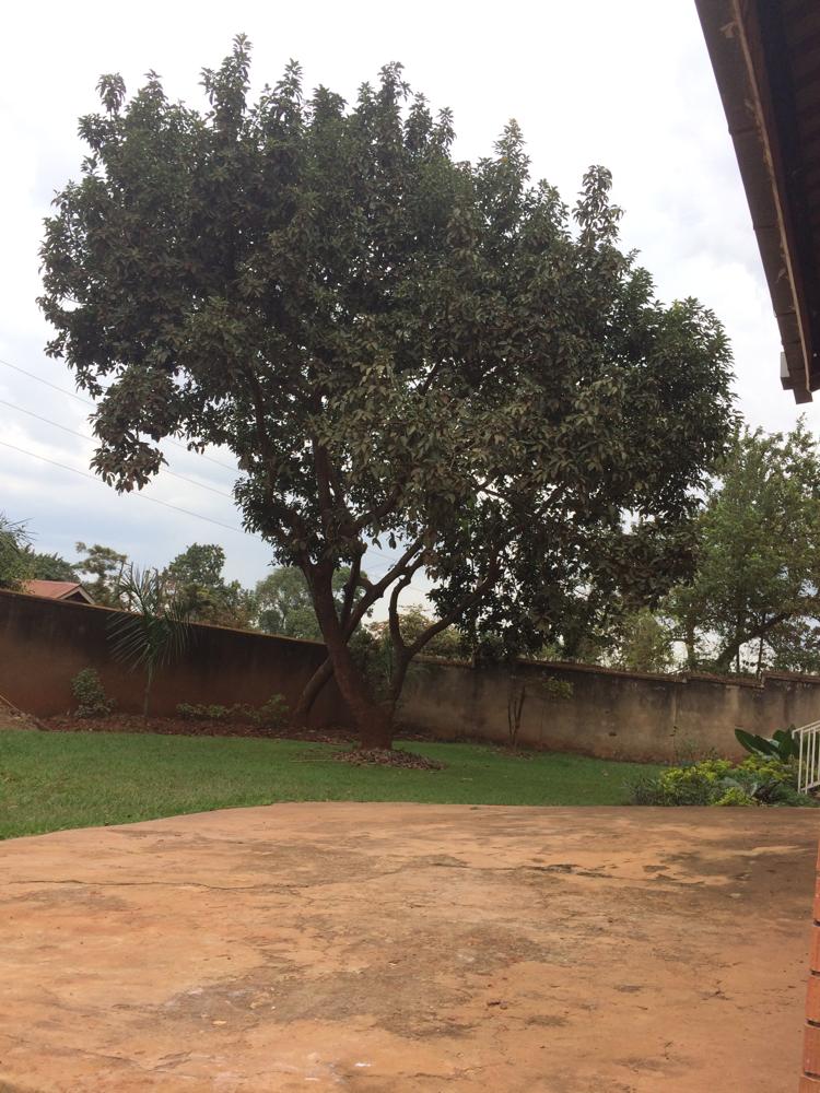 Der jetzt schon heiß geliebte Avocadobaum im Garten