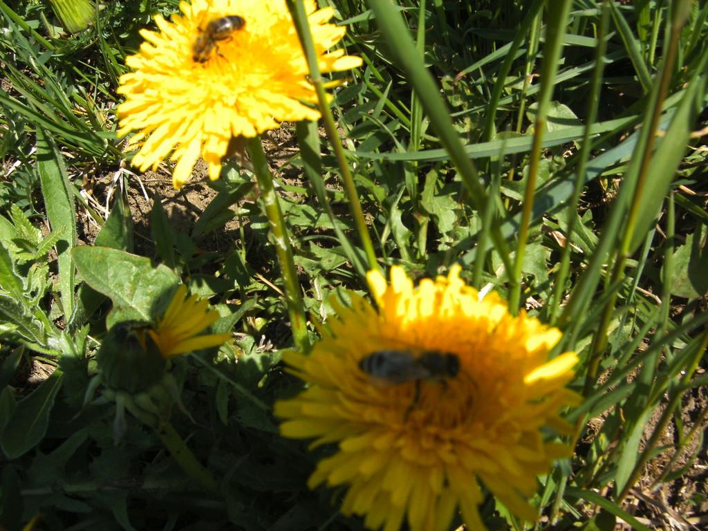 Die fleißigen Bienen sammeln Nektar