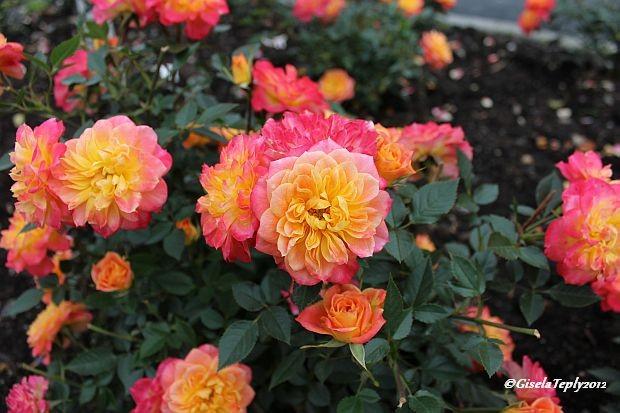 Rosendal ist ein Ort der Rosen...