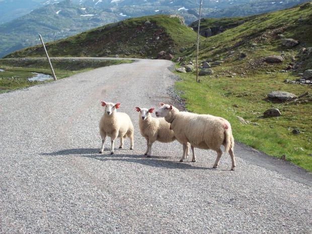 Schafe, sie findet man ueberall hier in Norwegen