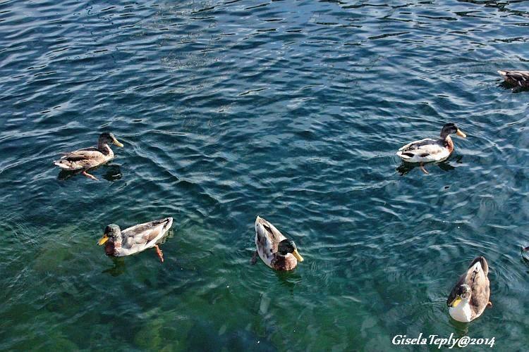 Gefräsige Gäste im Wasser...