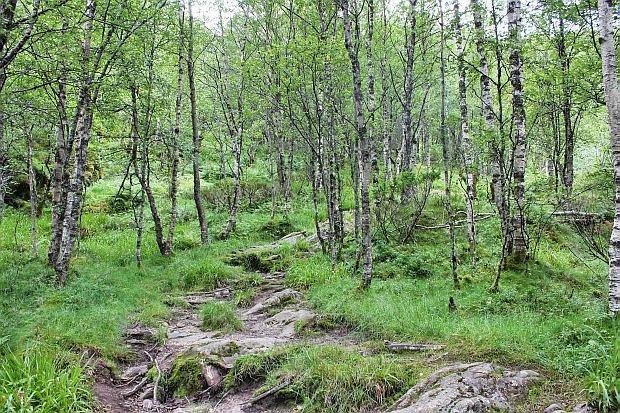 durch einen kleinen Birkenwald..
