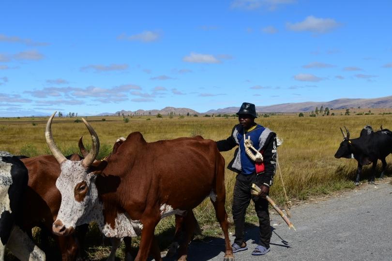 Auf dem großen Treck zum Viehmarkt. Das Zebu ist alles: Kapital, Arbeitstier, Essen...