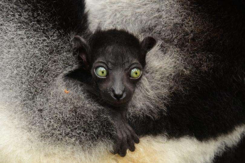 Tierbabys sind doch immer soooo süß, auch kleine Lemuren