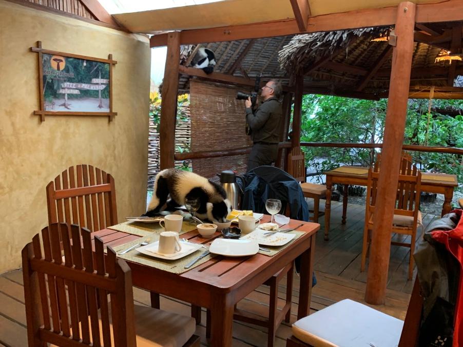 Schon beim Frühstück kommen die Lemuren zu Besuch. Und während man einen fotografiert, räumt der andere den Frühstücktisch ab