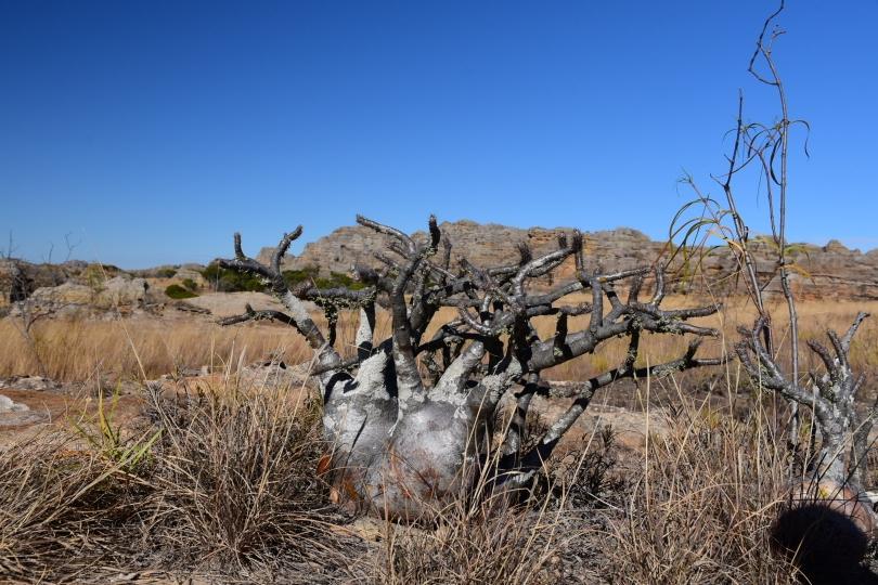 Einer meiner Favoriten in der örtlichen Pflanzenwelt: der Elefantenfuß
