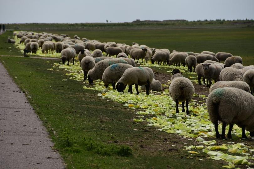 Und wenn der Wind mal nicht weht, und sich deswegen die Windräder nicht drehen, bekommen die Schafe in Dithmarschen Kohl zu fressen - dann wird's schon