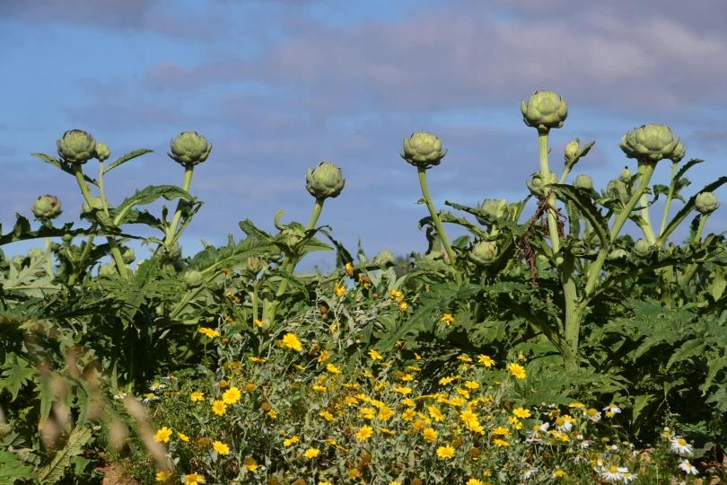 Es wird nicht nur Porree angebaut, sondern auch viele andere Gemüsesorten - hier sind es Artischockenfelder