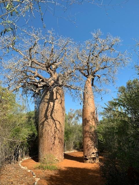 Ein Markenzeichen Madagaskars: die Baobab-Bäume