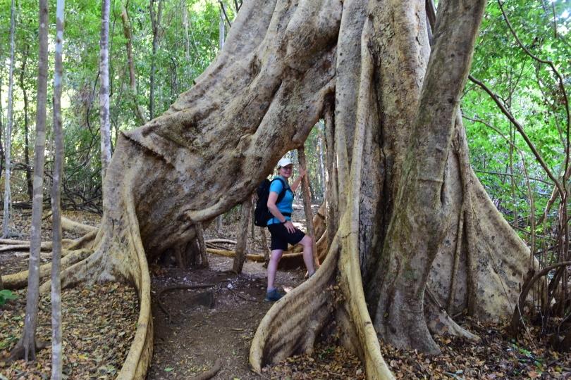 Echte Baumriesen - ein Ficus, nicht fürs Wohnzimmer geeignet