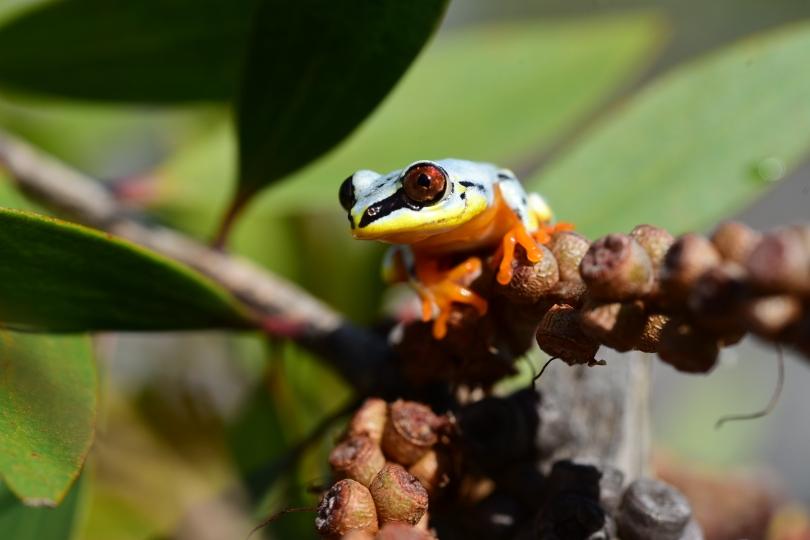 Und hier mein Lieblingsfrosch: der Weiße Frosch, mit ca. 3 cm Größe schon ein echter Riese